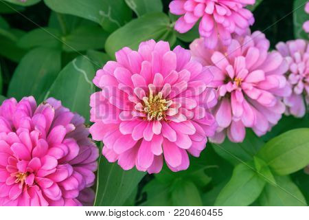 pink Zinnia flower Zinnia violacea Cav in summer garden on sunny day. Zinnia is a genus of plants of the sunflower tribe within the daisy family.