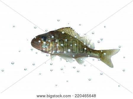 fish ruff with bubbles on white background