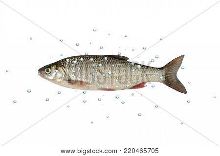 fish dace with bubbles on white background