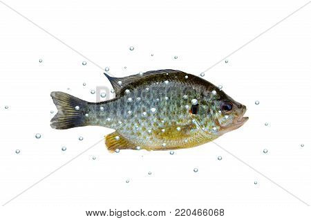 fish bass with bubbles on white background
