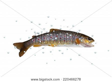 fresh stream trout with bubbles on white background