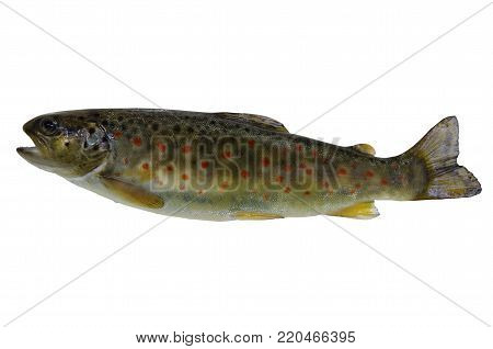 fresh stream trout on a white background
