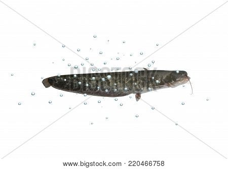 big catfish with bubbles on white background
