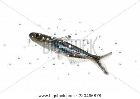 tropical fish pangasius hypophthalmus on white background