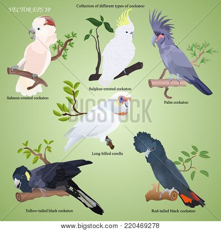Collection of different types of realistic cockatoo - red tailed black,  salmon-crested, sulphur-crested, palm, long-billed corella, yellow-tailed black