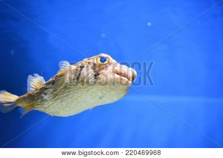 Balloonfish swimming with it's quills close to the body.