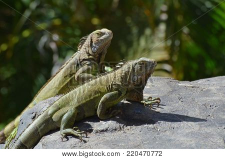 Two green iguanas with long talons together on a rock.