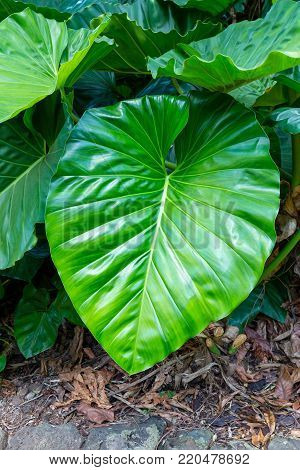 Very large fresh lush green leaf of the tropical vine or climber, Philodendron giganteum plant growing outdoors alongside a stone paved path
