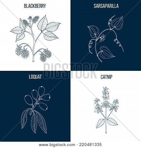 Vector collection of four hand drawn medicinal plants, blackberry, sarsaparilla, loquat, catnip