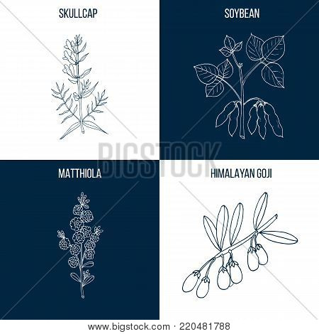 Vector collection of four hand drawn medicinal and edible plants, skullcap, soybean, matthiola, goji