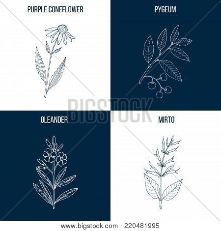 Vector collection of four hand drawn medicinal and eatable plants, mirto, oleander, pygeum, purple coneflower