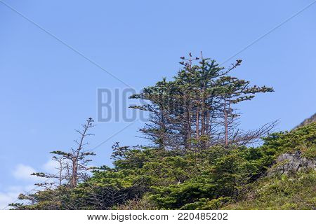 small evergreen trees against blue sky in Newfoundland