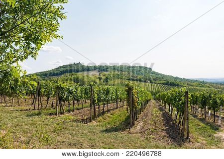 Vineyard Near Palava, Czech National Park, Wine Agriculture And Farming, Nature Landscape In Summer,