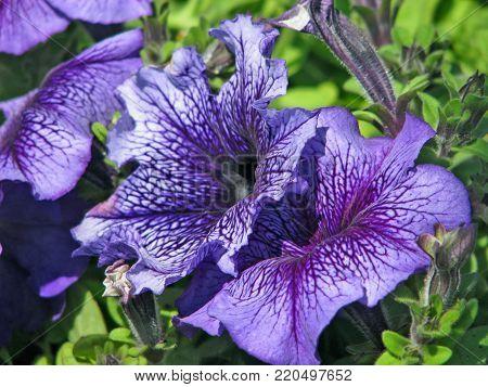 MAUVE PETUNIA FLOWERS. PETUNIA IS A GENUS OF 35 SPECIES OF FLOWERING PLANTS OF SOUTH AMERICAN ORIGIN