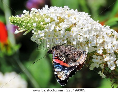 Red Admiral on white buddleja flower in garden on a shore of the Lake Ontario in Toronto, Canada, August 30, 2016
