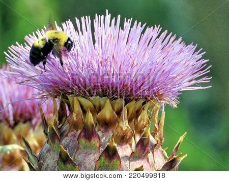 Bumblebee on lesser burdock flower in garden on a shore of the Lake Ontario in Toronto, Canada