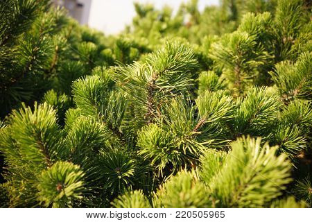 Brightly Green Prickly Branches of Pine, Close Up of a Green Pine Tree, Background from Branches of a Natural Fur-tree, Closeup of Christmas-tree Background, Detailed Christmas Tree Branches