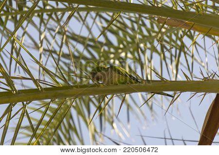 Myiopsitta monachus in a natural environment. Fuengirola. Spain.
