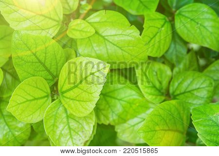 Young Green Leaves of a Shrub Botanical Foliage Background. Golden Sunlight Flare. Nature Awakening Easter. Spring Summer. Purity Balance Harmony Tranquility Concept poster