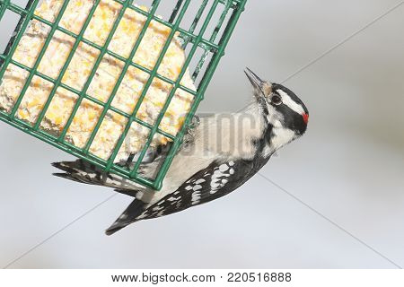 Male Downy Woodpecker (Picoides pubescens) on a suet feeder with a white background