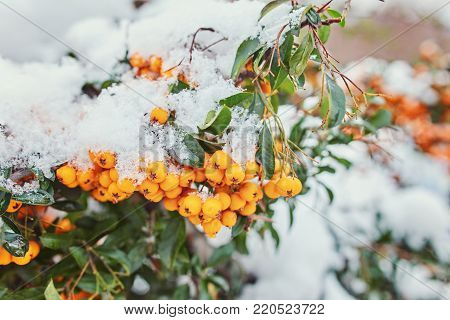 Beautiful brunches of orange rowan berries under the first snow. Selective focus