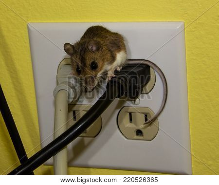 Small brown wild house mouse straddling two wires with his furry tail drapped over the side.  This is a wall plug on a yellow surface.