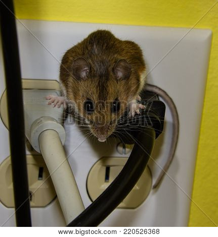 A wild brown house mouse or Mus musculus, straddling two wires.  The background wall is yellow and there are two sockets free in the 4 prong outlet.
