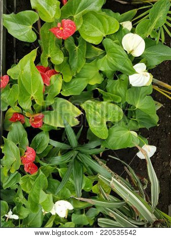 Anthurium Flower In Red And White Colors, Botany And Garden Decoration