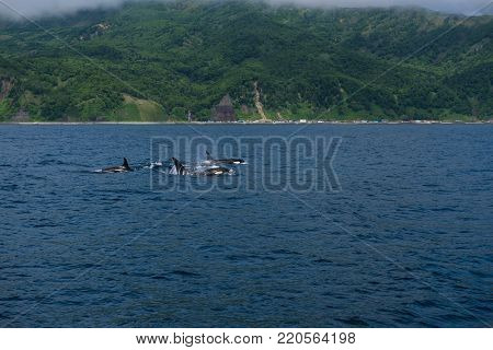 A group of Killer Whales swimming in the sea of Okhotsk near the Shiretoko Peninsula, Hokkaido, Japan