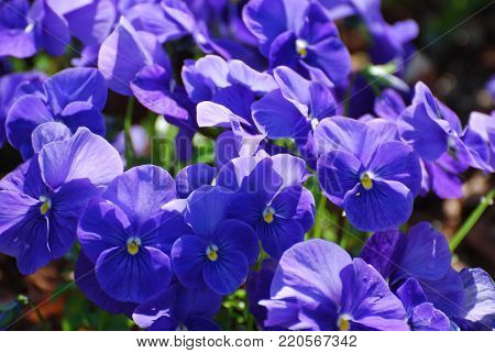 Pretty blue flowering Johnny Jump Up flowers in a garden.