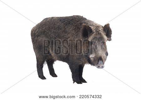 Wild boar, also wild pig, a on white background