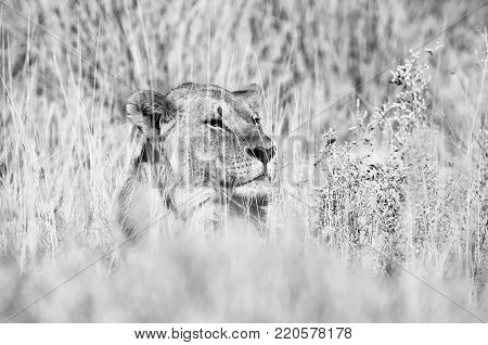 A monochrome Lion hiding in grass in Northern Namibia