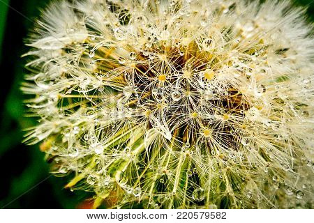 Close up on a dandelion clock or seed head with delicate seeds topped with a pappus or parachute of hairs for wind dispersal
