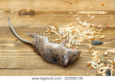 Closeup dead mouse on wooden floor in storehouse near piles of grain.