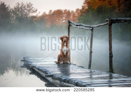 Nova Scotia Duck Tolling Retriever On The Dock. The Dog At The Lake