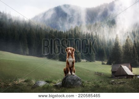 Nova Scotia duck tolling Retriever in the mountains. A dog outdoors. Forest and fog