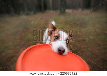 The dog is playing. Jack Russell Terrier biting the toy. Nature