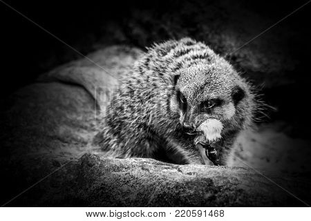 Fierce Meerkat alert and savagely feeding on a mouse monochrome black and white image