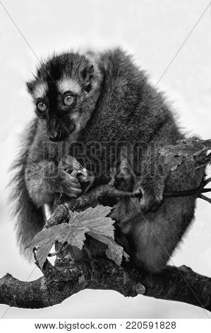 Ring tailed lemur on a tree branch which is native to Madagascar monochrome black and white image