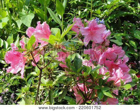 The sun highlights the pink, it is pleasant the summer. Flowers in the sensational colors she represent the nature, the summer.