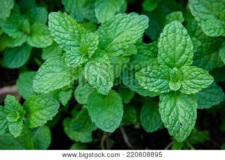 peppermint herb or vegetables for cook , The plant is useful in cooking as a herb to extract fresh scent.