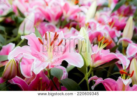 lilly pink flowers in the nature garden romance nature flowers blooming in the garden