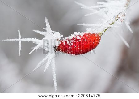 single rose hip with frost pattern in winter