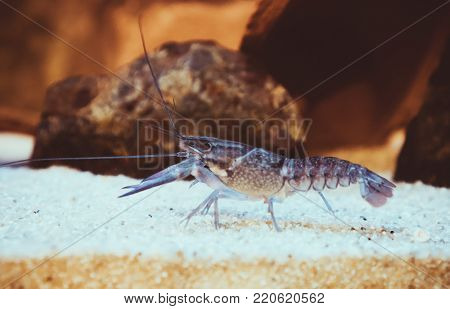Small Crustacean On The Bottom Of The Sea.
