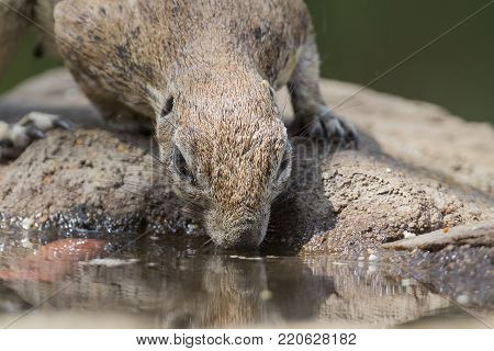 Close-up of a Ground squirrel drinking water from a waterhole in the Kalahari desert