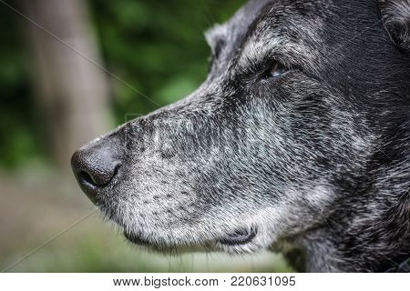 Muzzle of a gray sheepdog close-up in the summer