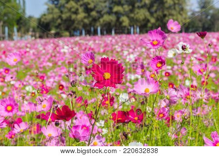 Pink White And Red Cosmos Flowers Garden,blurry To Soft Focus And Retro Film Look New Color Modern T