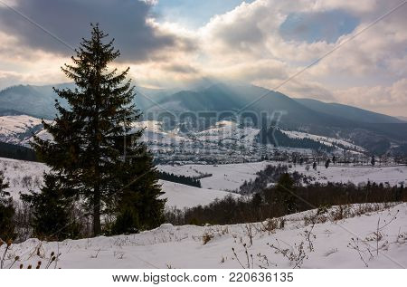 spruce tree on snowy hillside on cloudy winter day. beautiful nature scenery. location outskirts of Volovets town in Carpathian mountains, Ukraine