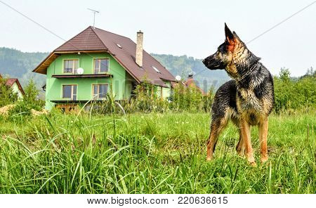 A Dog Shepherd Watching His New Home