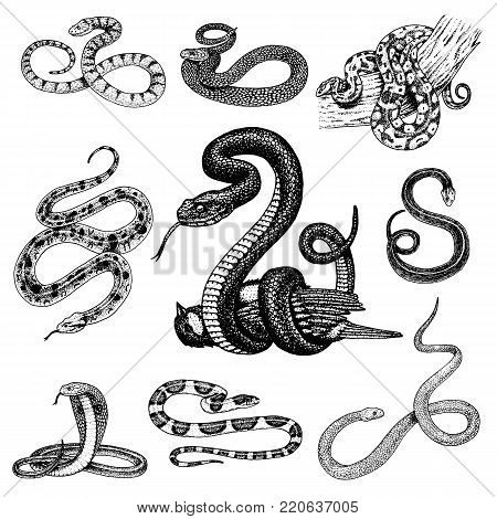 Set Viper Snake. serpent cobra and python, anaconda or viper, royal. engraved hand drawn in old sketch, vintage style for sticker and tattoo. ophidian and asp